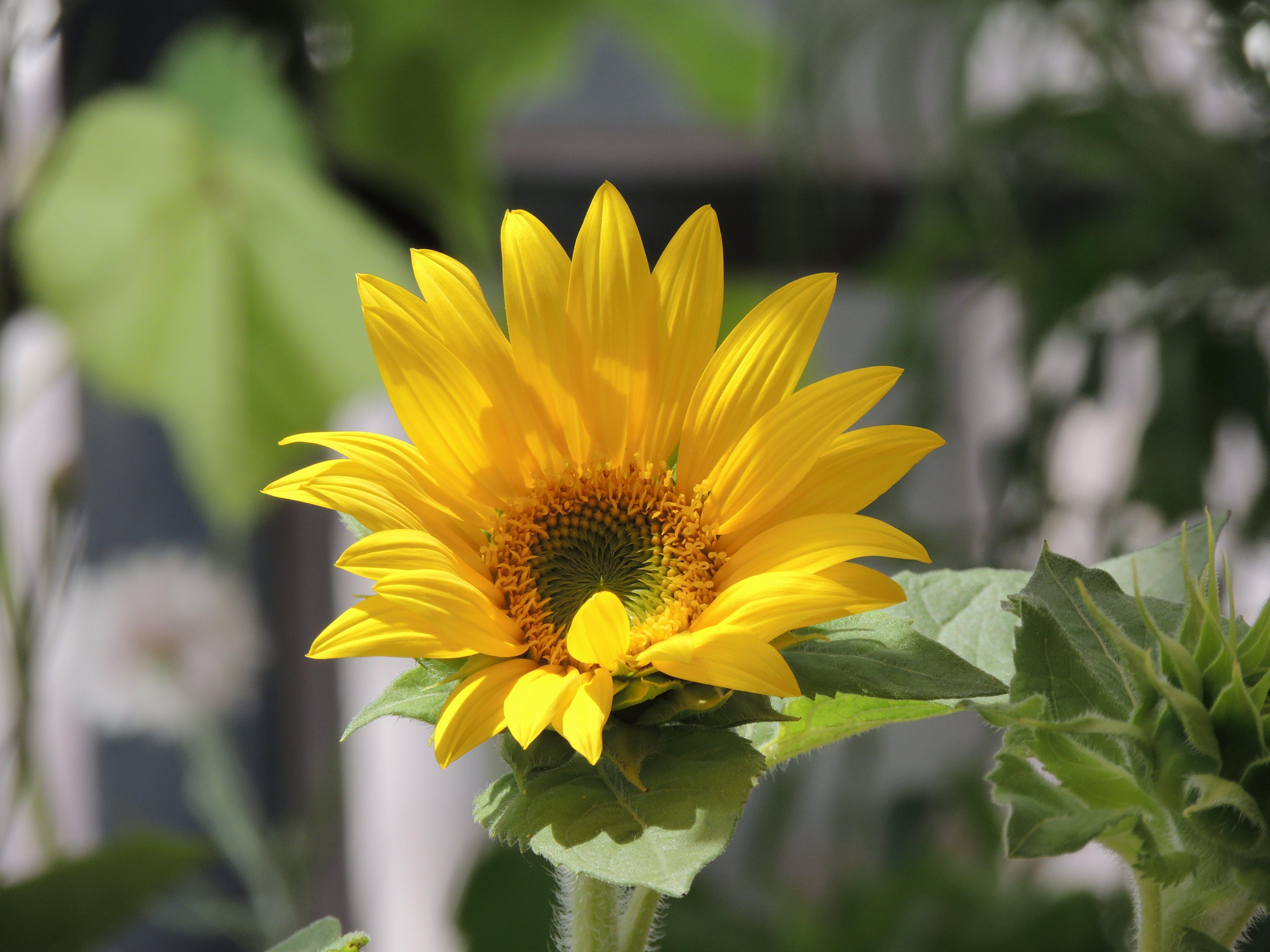 Kostenloses Stock Foto zu blumen, floareasoarelui, sonnenblume