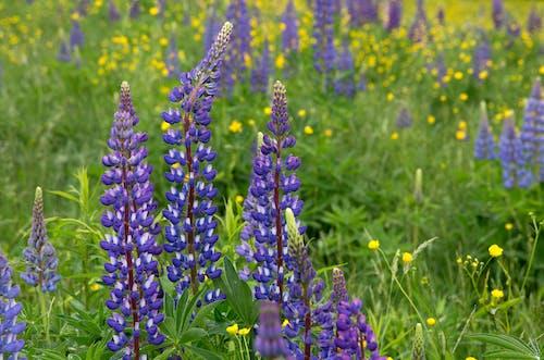 Ingyenes stockfotó csillagfürt, fű, növényvilág, virág témában