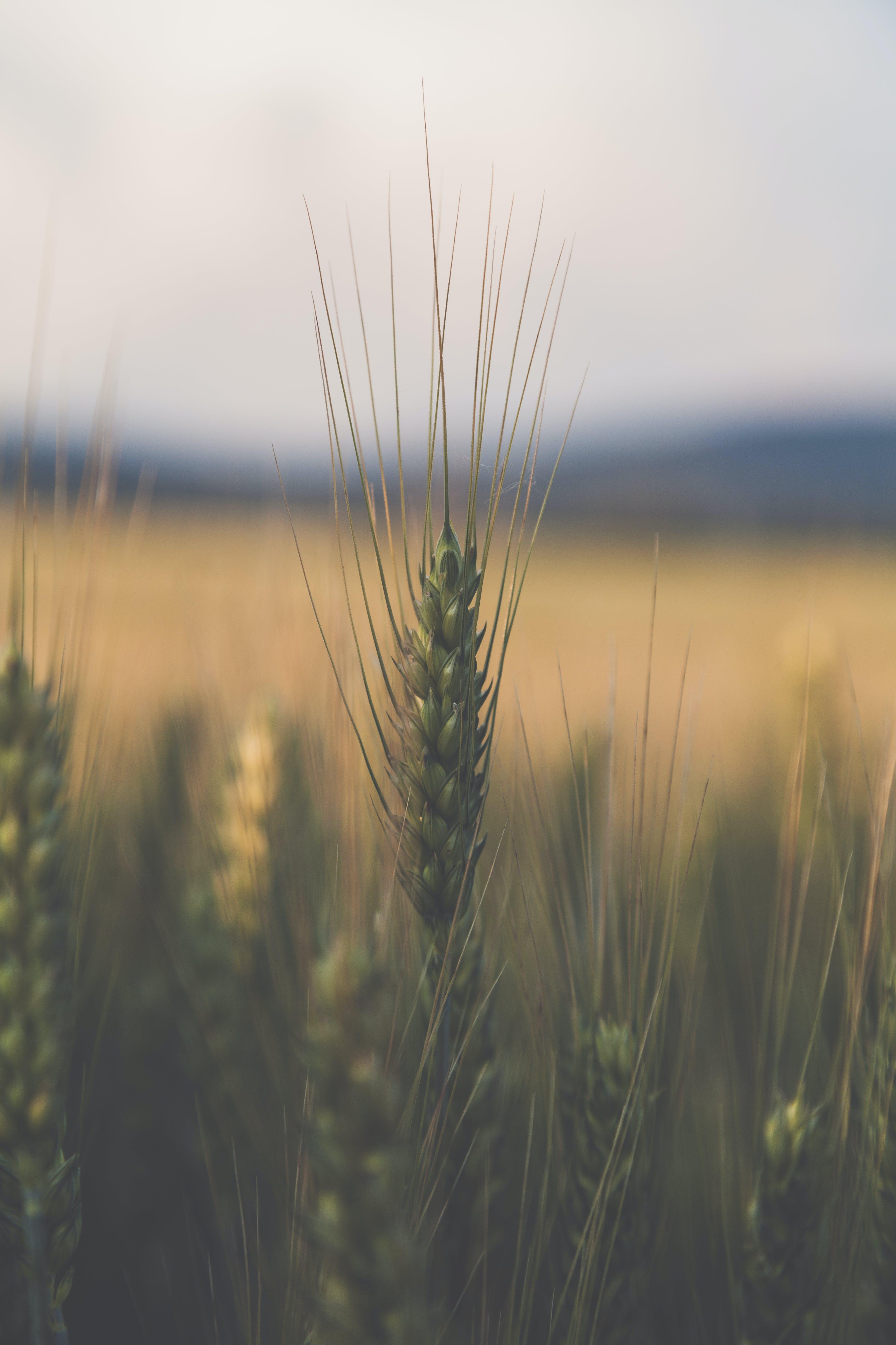 Kostenloses Stock Foto zu feld, landwirtschaft, bauernhof, gras