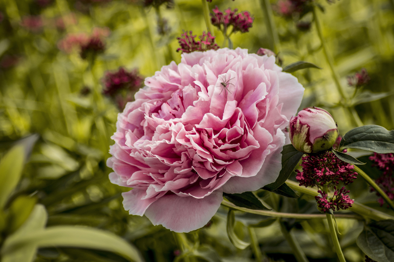 Gratis stockfoto met bloem, mooie bloemen, pioen, roze bloem