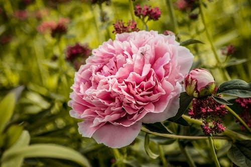 Photos gratuites de araignée, été, fleur, fleur rose