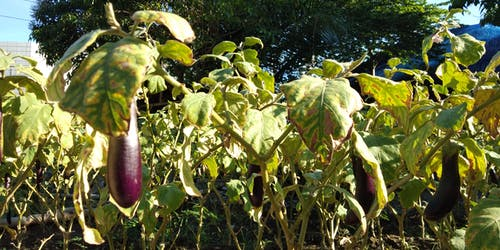 Free stock photo of eggplants