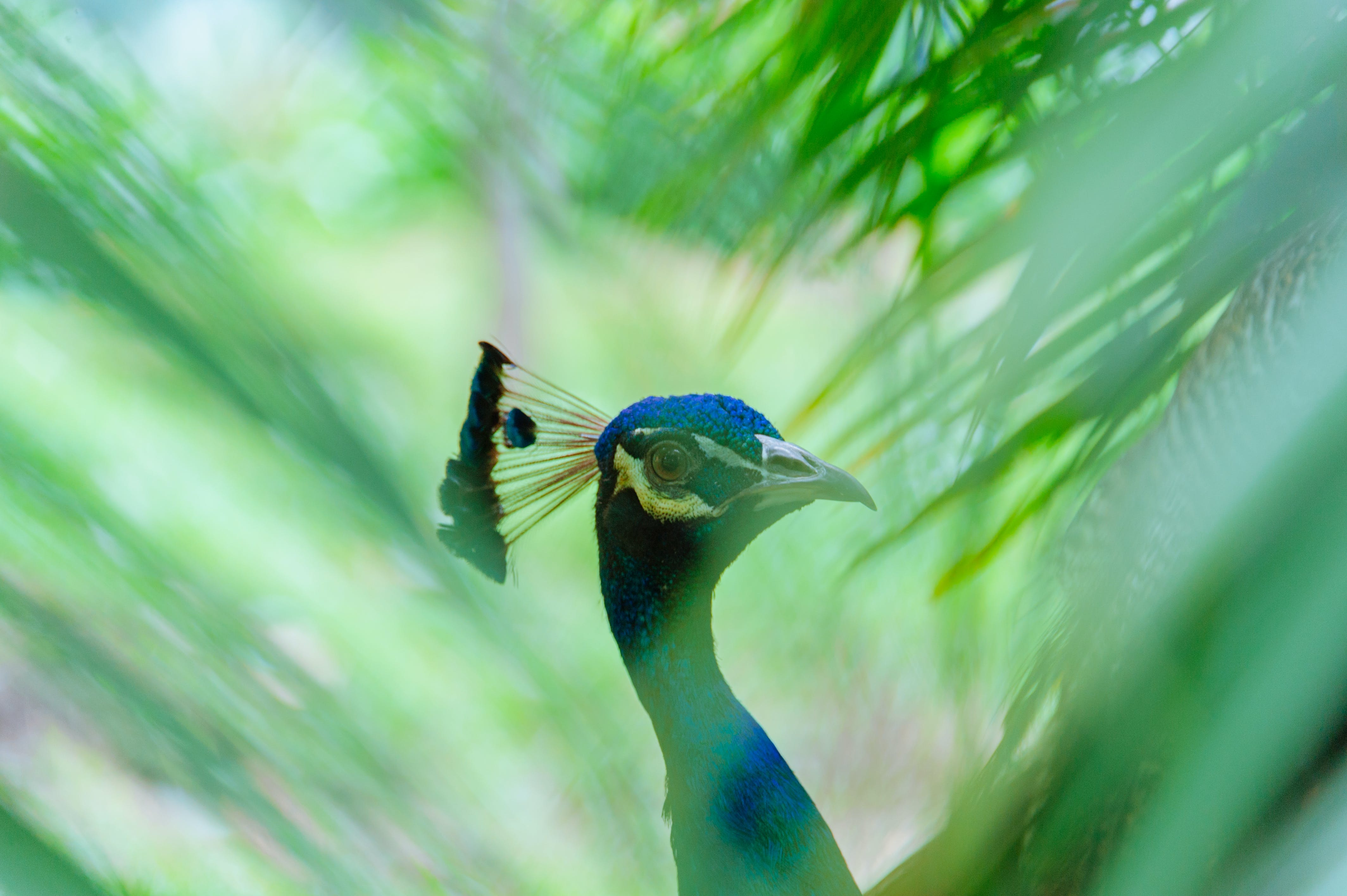 Close-up Photography of Blue Peacock