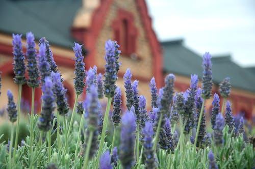 Foto d'estoc gratuïta de planta de flor de naturalesa violeta de abella