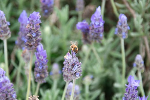 Free stock photo of bee lavender purple nature flower plant