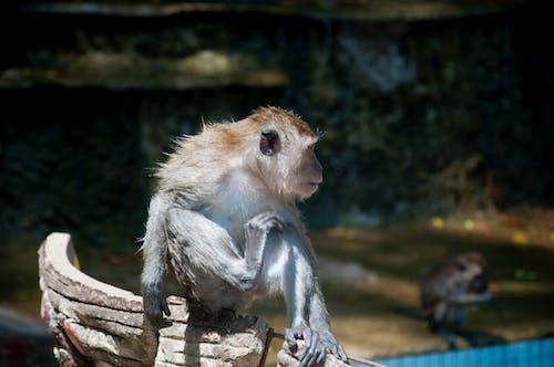 Foto d'estoc gratuïta de mico, Tailàndia