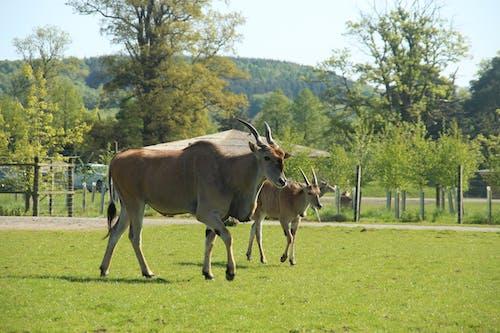 Foto stok gratis berjalan, binatang, kedudukan, taman safari