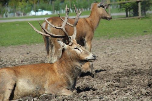 คลังภาพถ่ายฟรี ของ กวาง, ซาฟารีปาร์ค, นอน, สัตว์