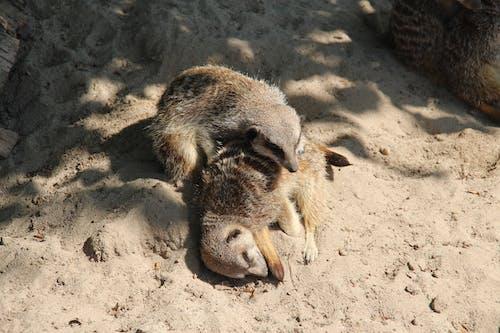 คลังภาพถ่ายฟรี ของ ซาฟารีปาร์ค, ทราย, นอน, สัตว์