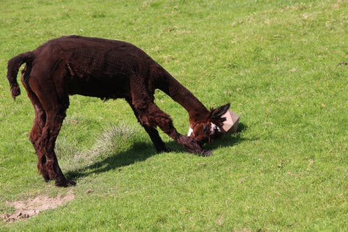 Foto stok gratis alpaka, binatang, goresan, rumput