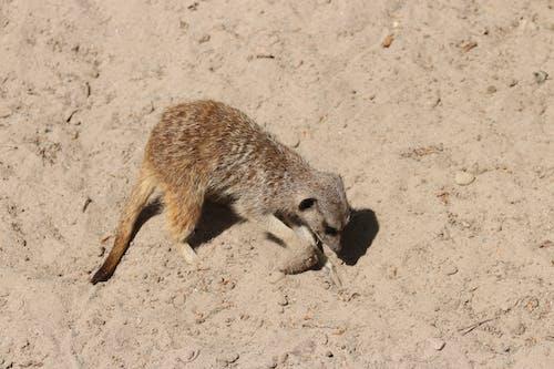 Kostenloses Stock Foto zu erdmännchen, graben, safari park, sand