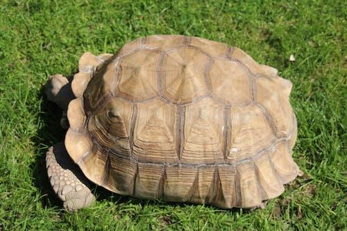 Kostenloses Stock Foto zu afrikanische spornschildkröte, safari park, schale, schildkröte