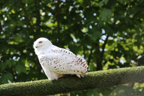 Foto stok gratis burung hantu, burung hantu salju, burung pemangsa, kedudukan