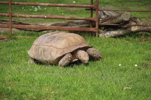Kostenloses Stock Foto zu afrikanische spornschildkröte, essen, schildkröte