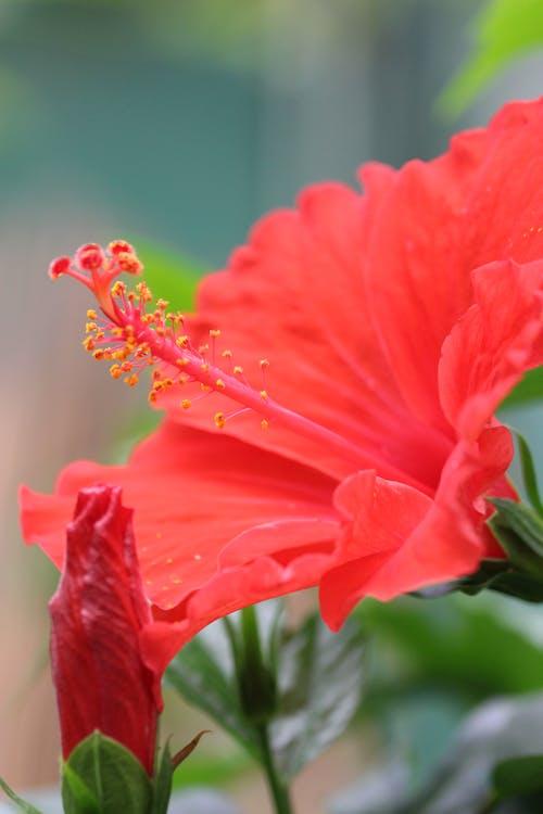 คลังภาพถ่ายฟรี ของ ดอกไม้, สีแดง