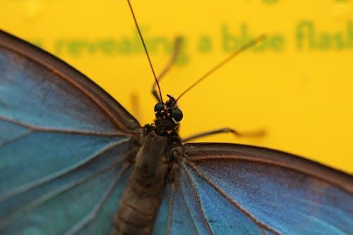 คลังภาพถ่ายฟรี ของ ผีเสื้อ, สีน้ำเงิน