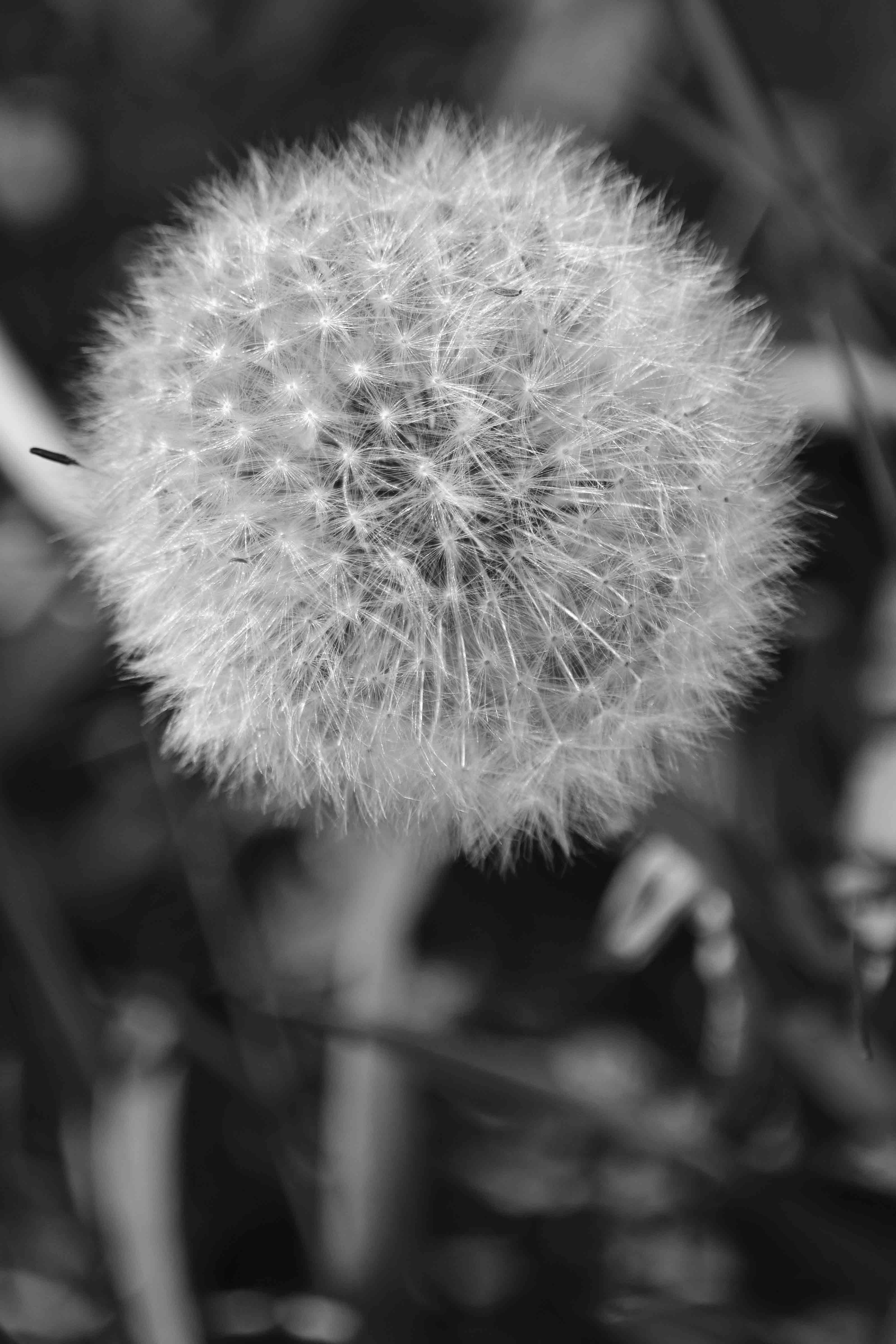 Free stock photo of black and white, dandelion, dandelion seed