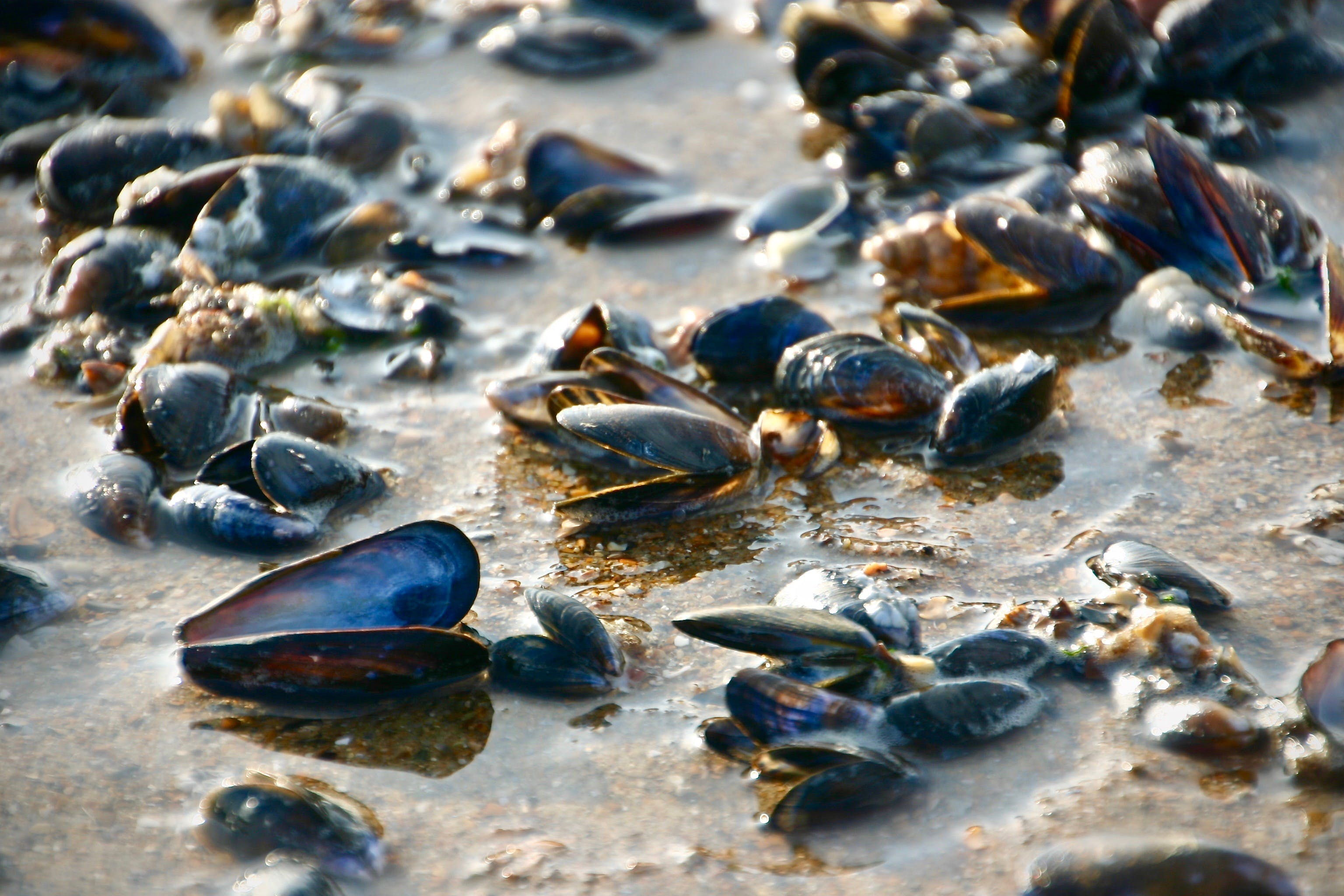 Free stock photo of mussels, North Sea, seashell