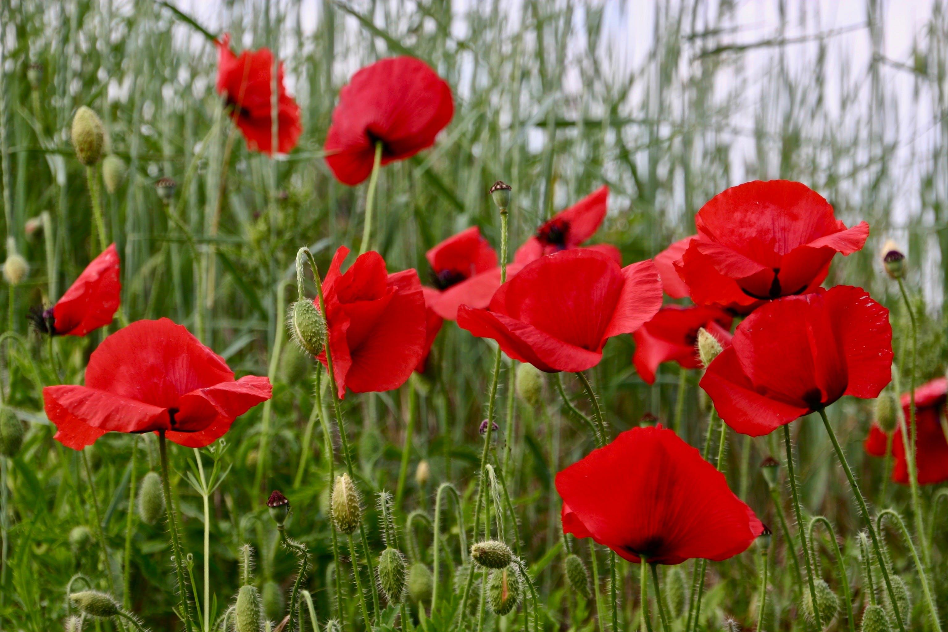 Free stock photo of flower, poppy, poppy flower, red