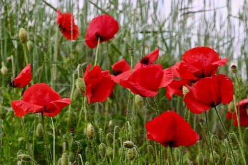 Ingyenes stockfotó mák, mákvirág, piros, piros virág témában