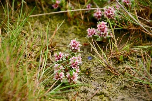 Ingyenes stockfotó rózsaszín virág, virág, zwin témában