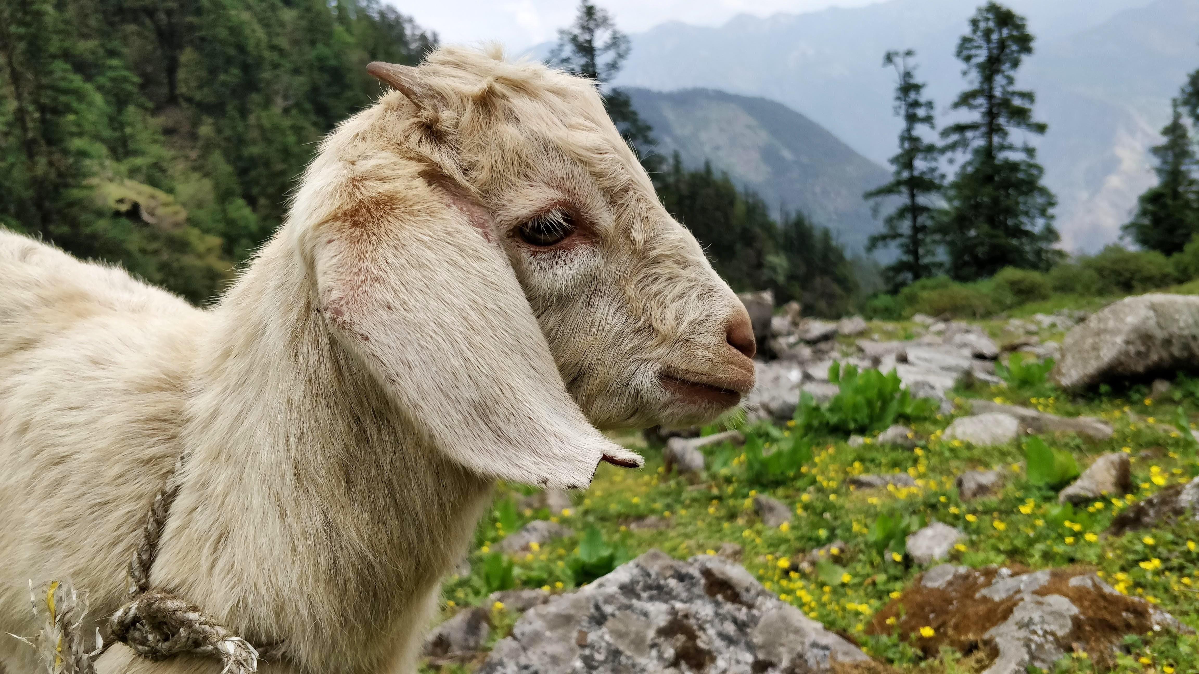 Free stock photo of animal, cute, goat, lamb