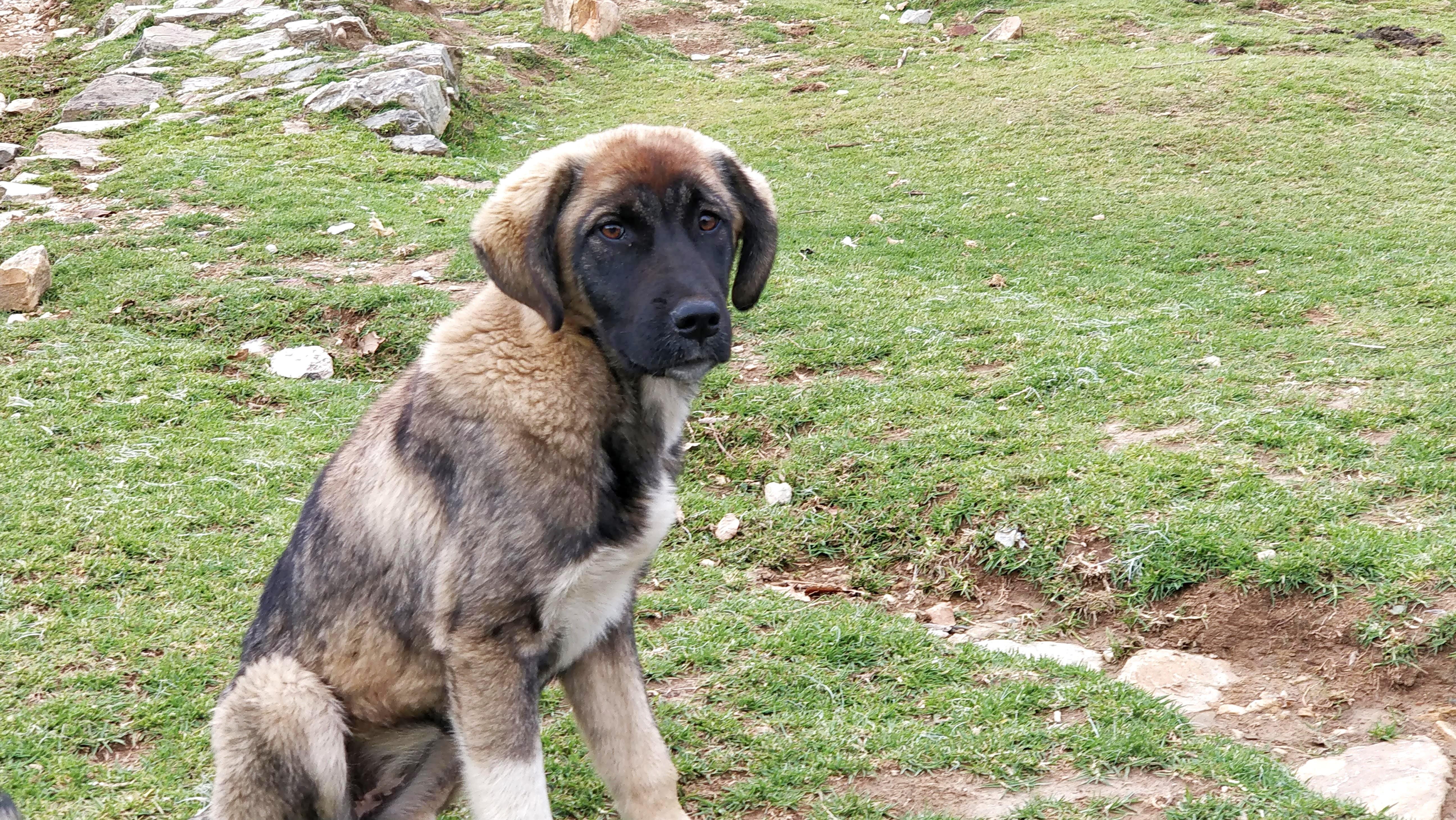 Free stock photo of adorable, animal, brown, dog