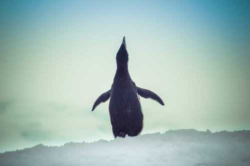 Free stock photo of #antarctica, #penguin