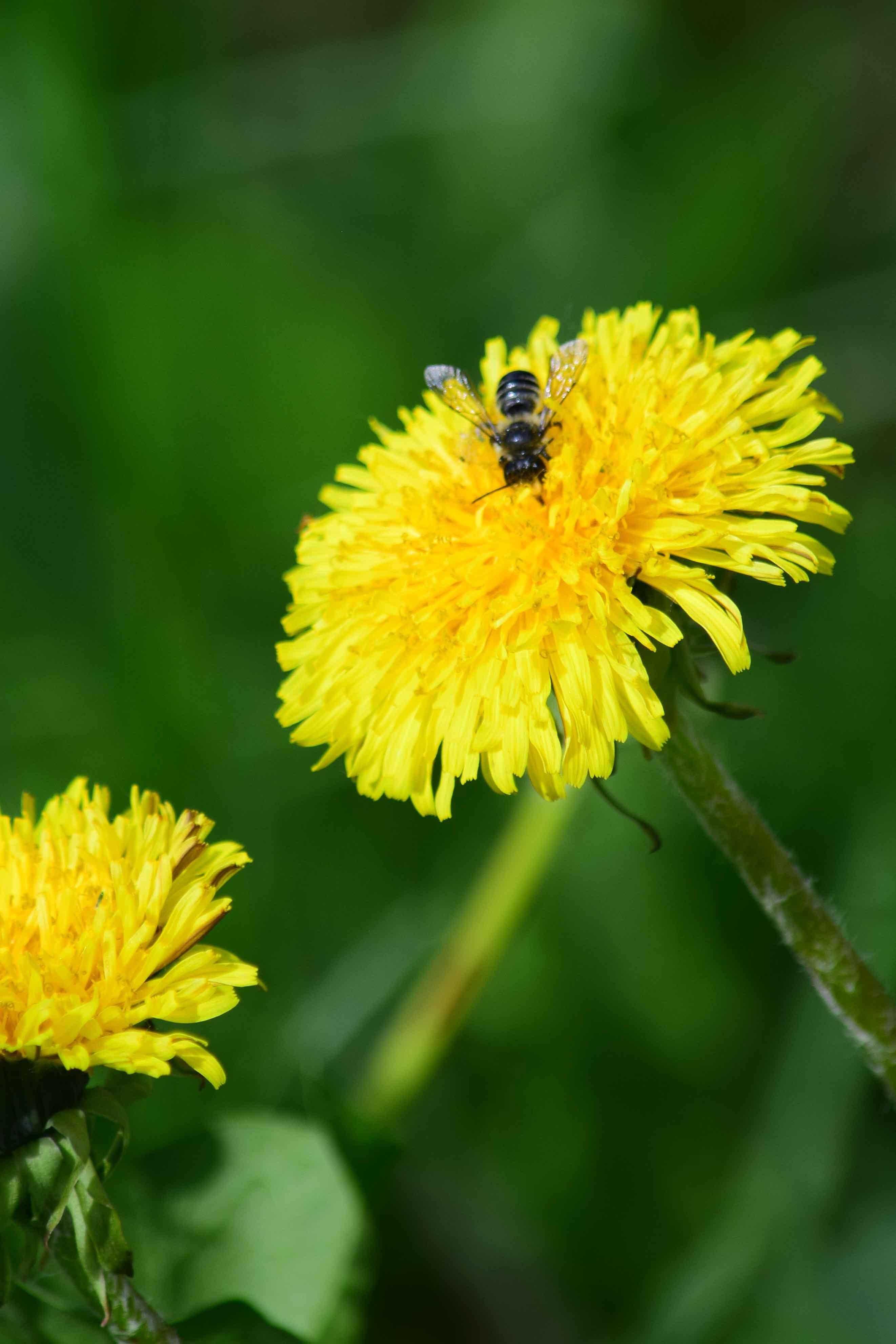 Free stock photo of bee, dandelion