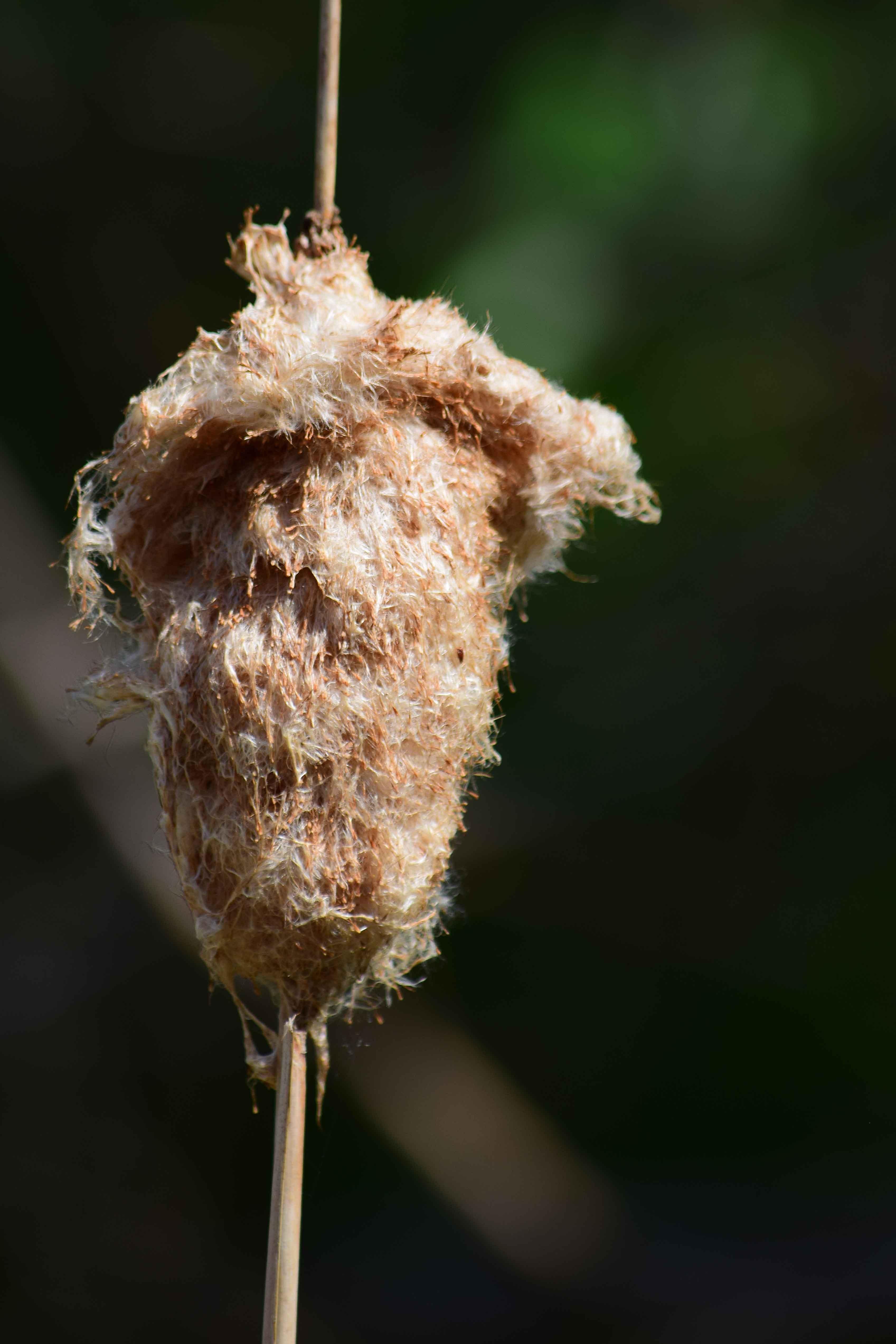Free stock photo of cattail