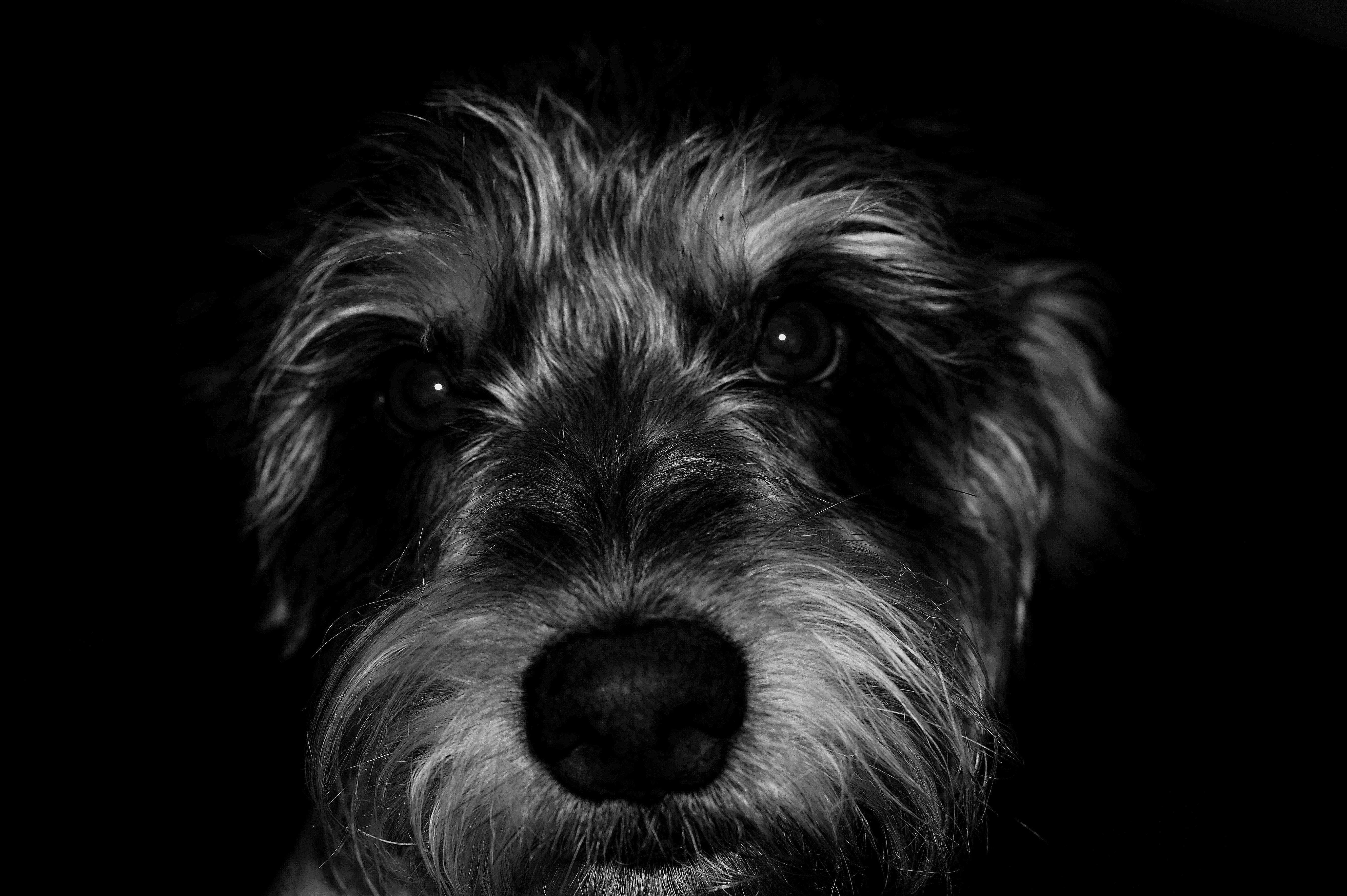 Schnauzer Puppy Grayscale Photography
