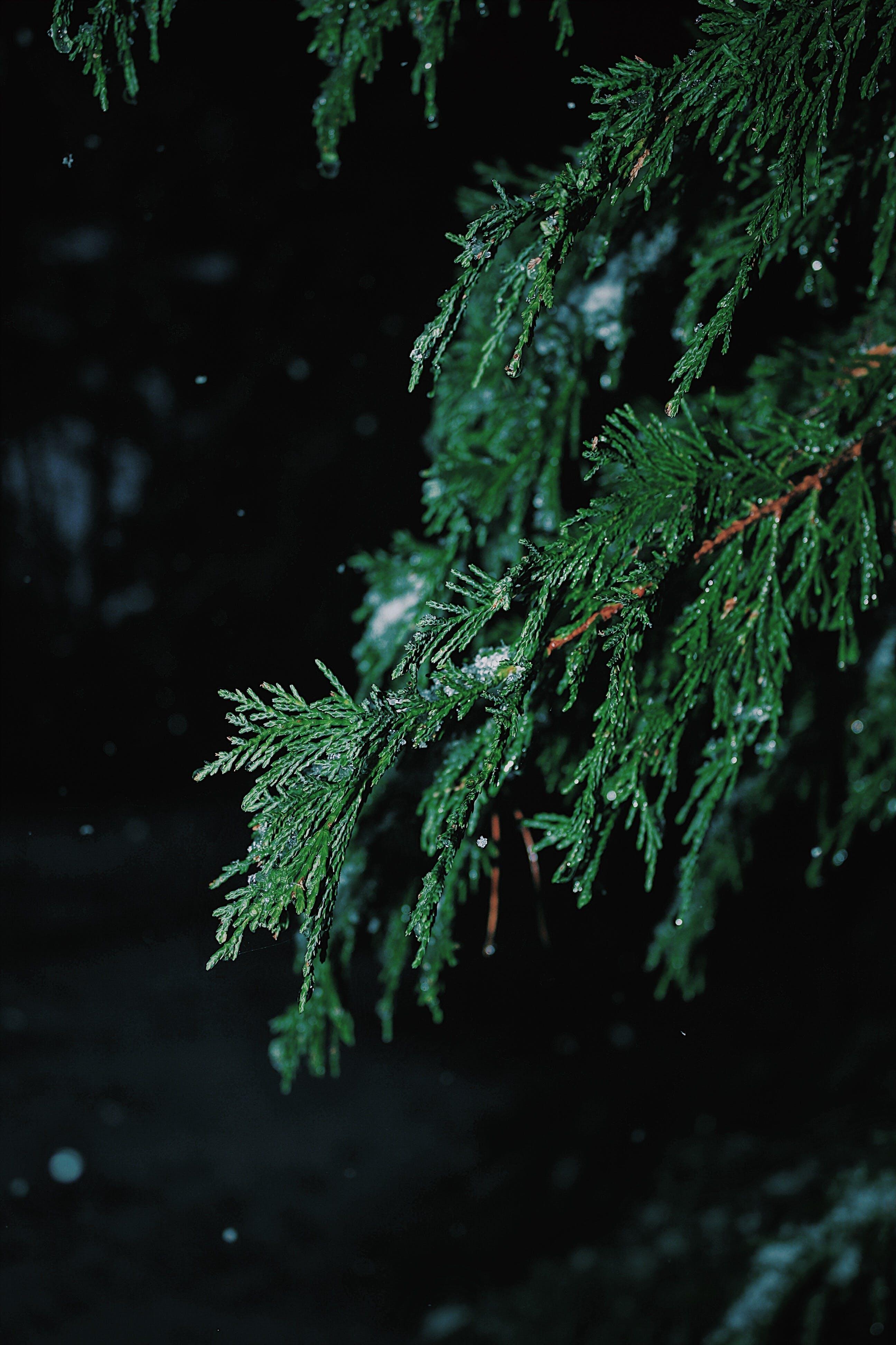 Foto d'estoc gratuïta de arbre, branca, color, conífera