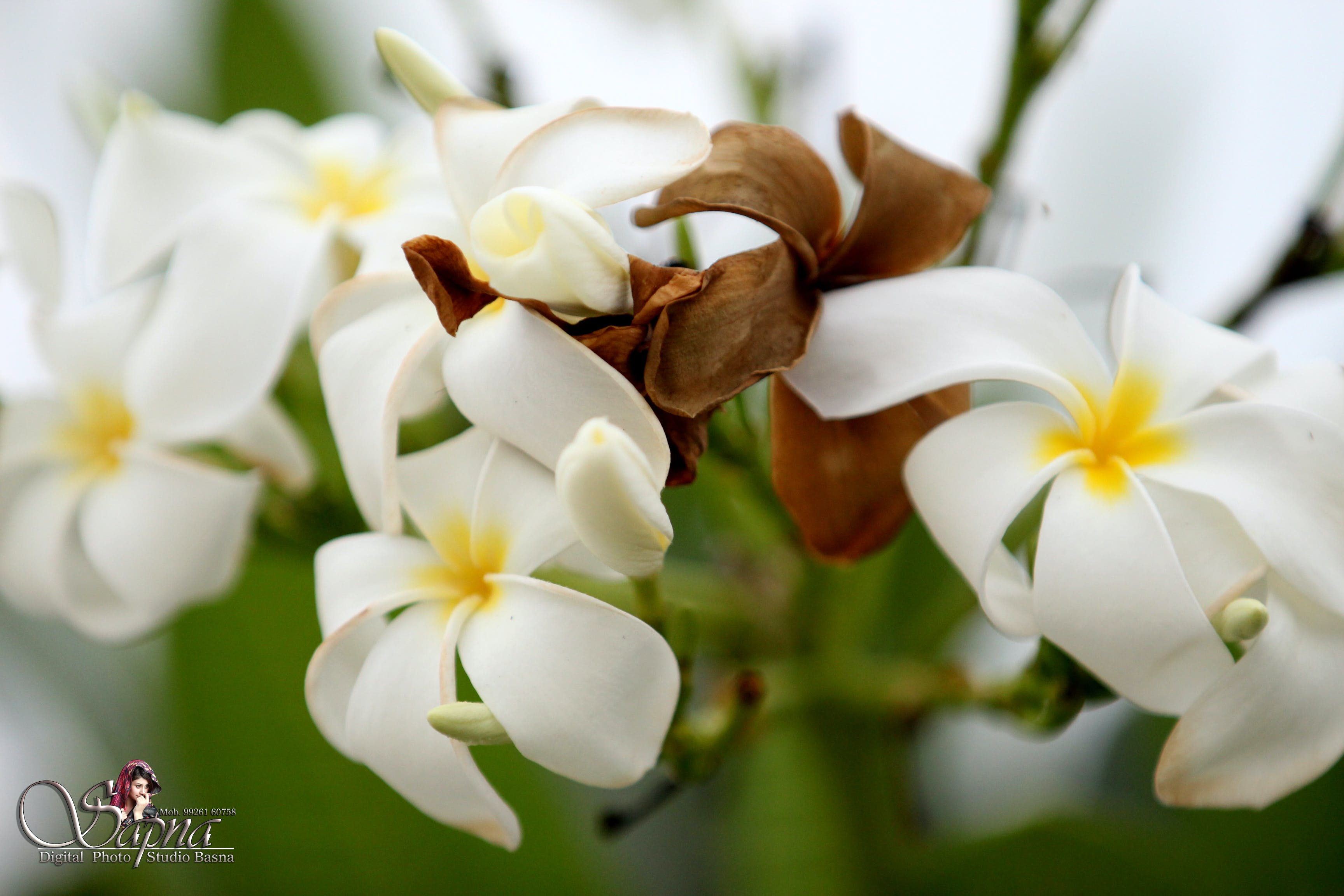 Free stock photo of beautiful flowers, flowers, white flower