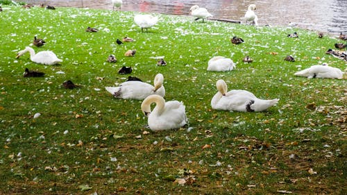 Free stock photo of bruges, old town, swans