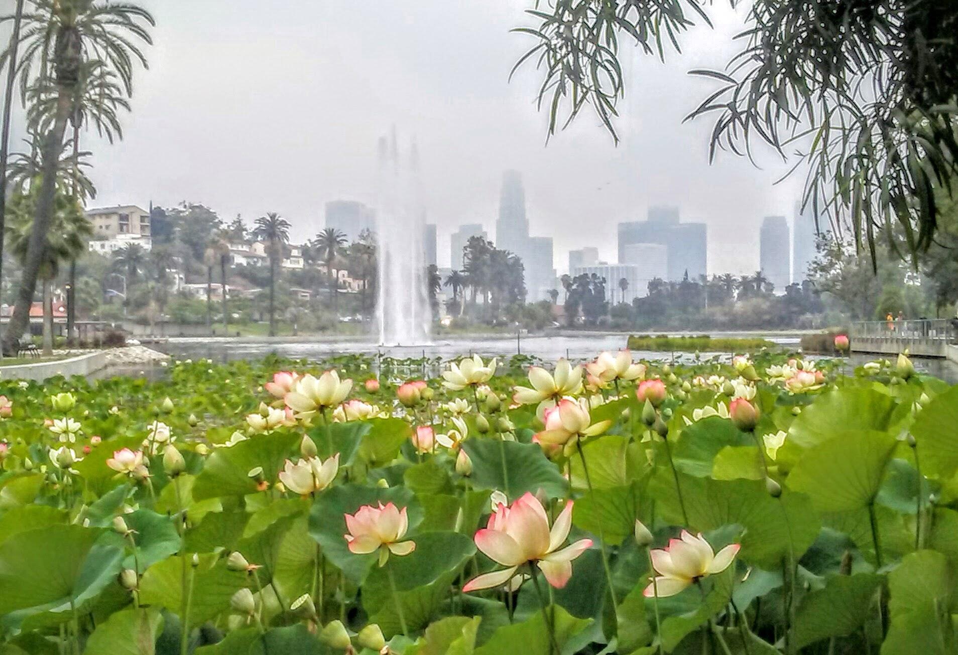 Free Stock Photo Of Echo Park Los Angeles Lotus