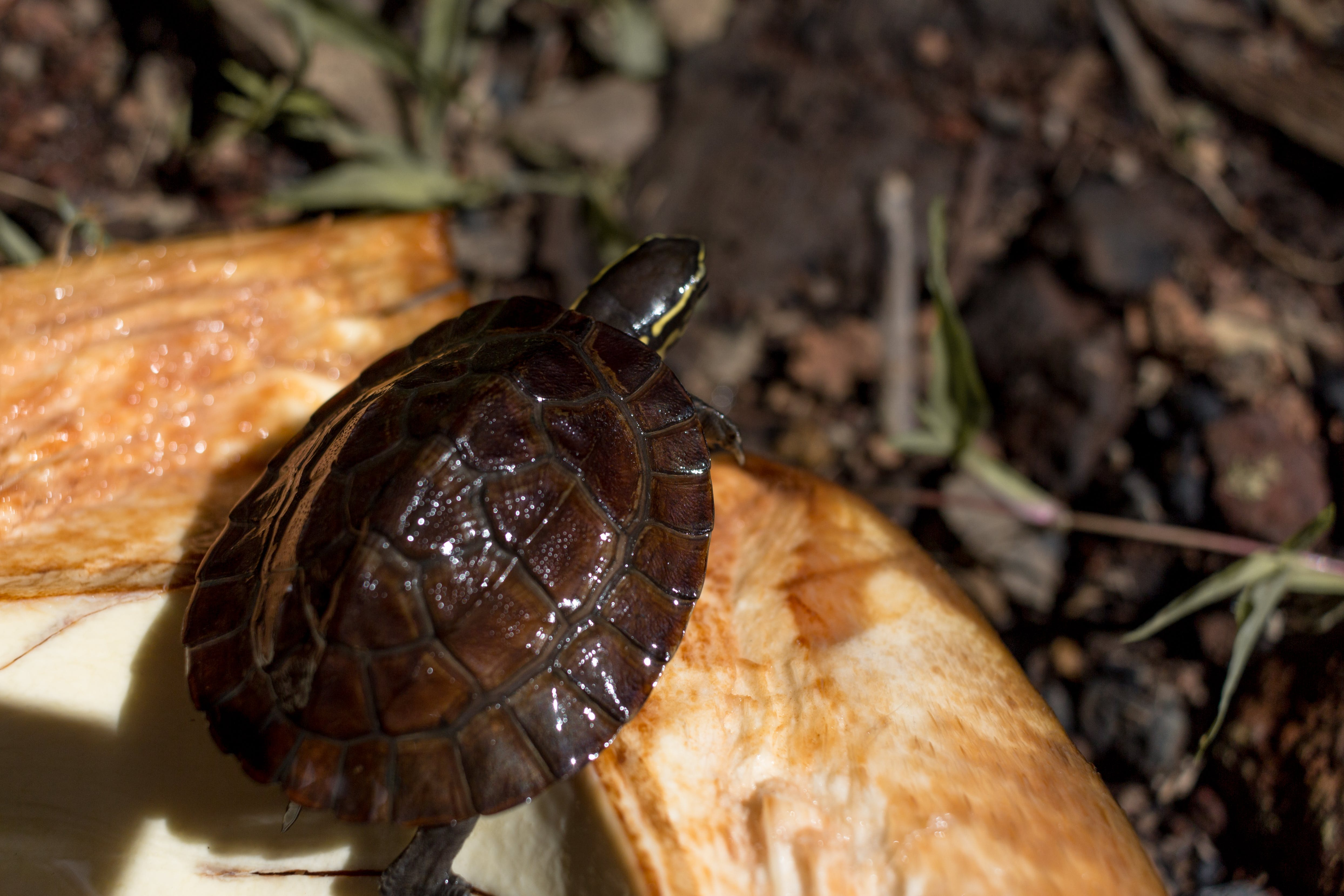 Free stock photo of pawikan, shell, turtle