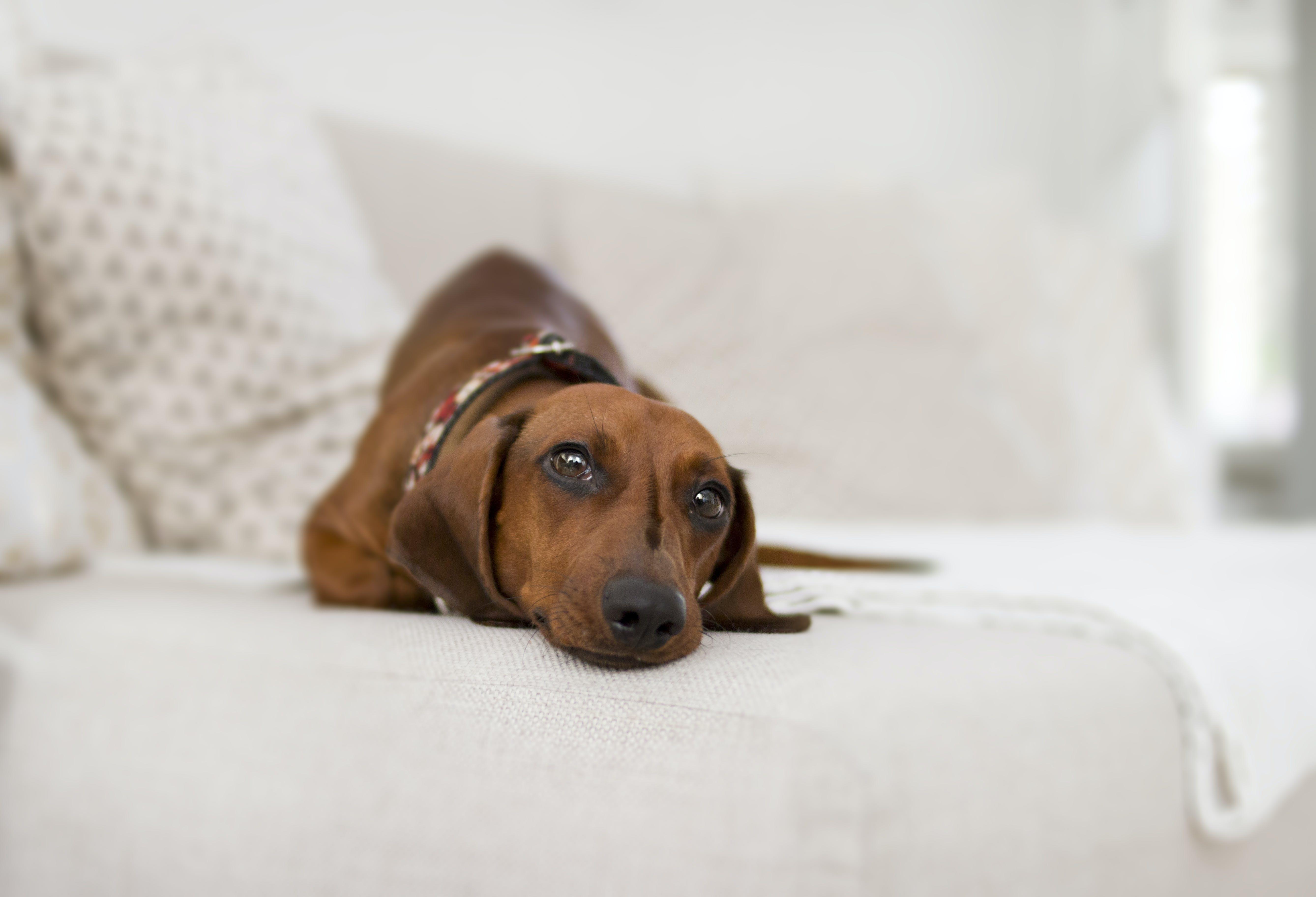 Gratis arkivbilde med brun, dachshund, dyr, hund
