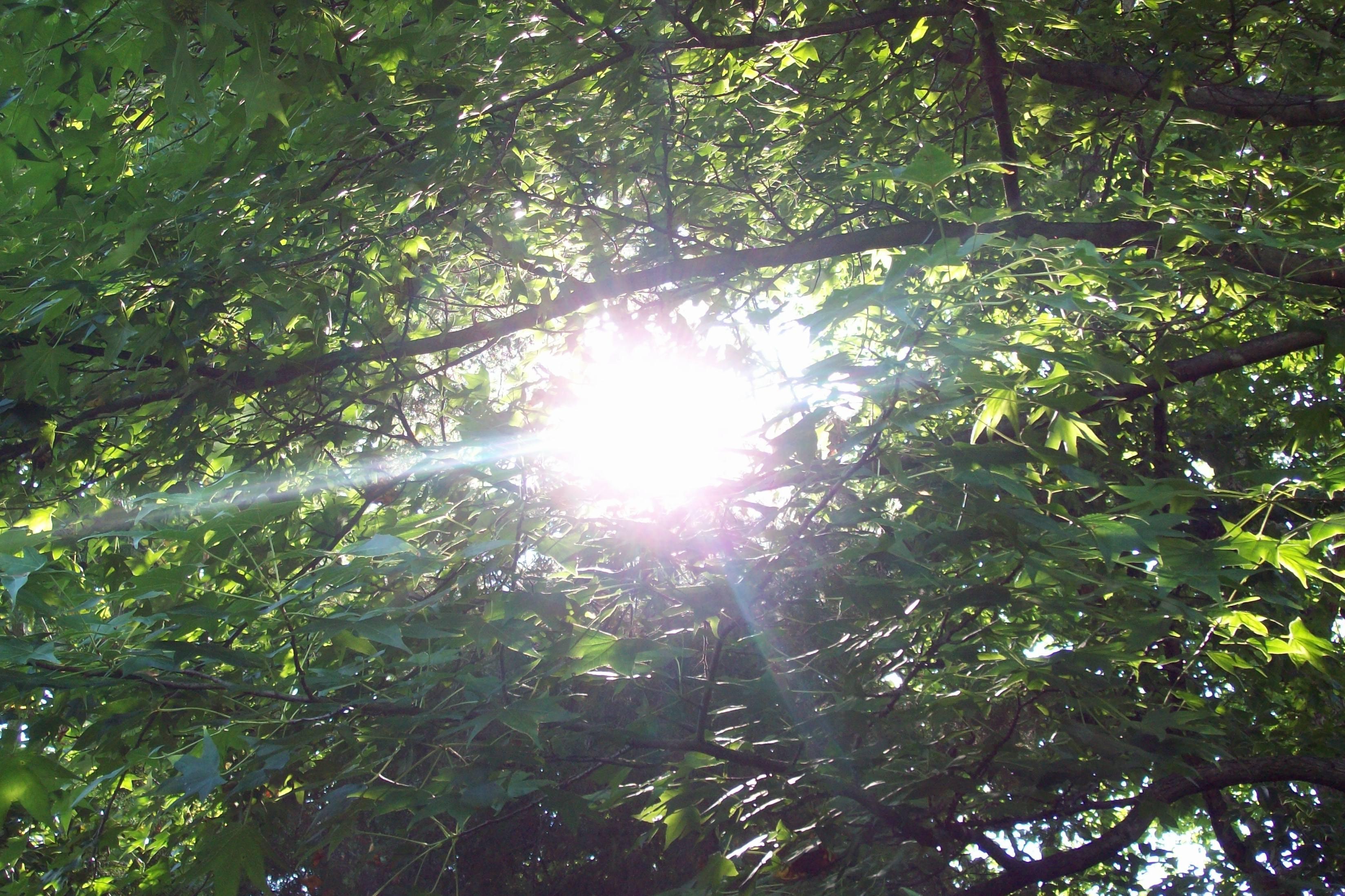 Kho ảnh miễn phí về cây xanh đậm, tia nắng, Tia nắng mặt trời