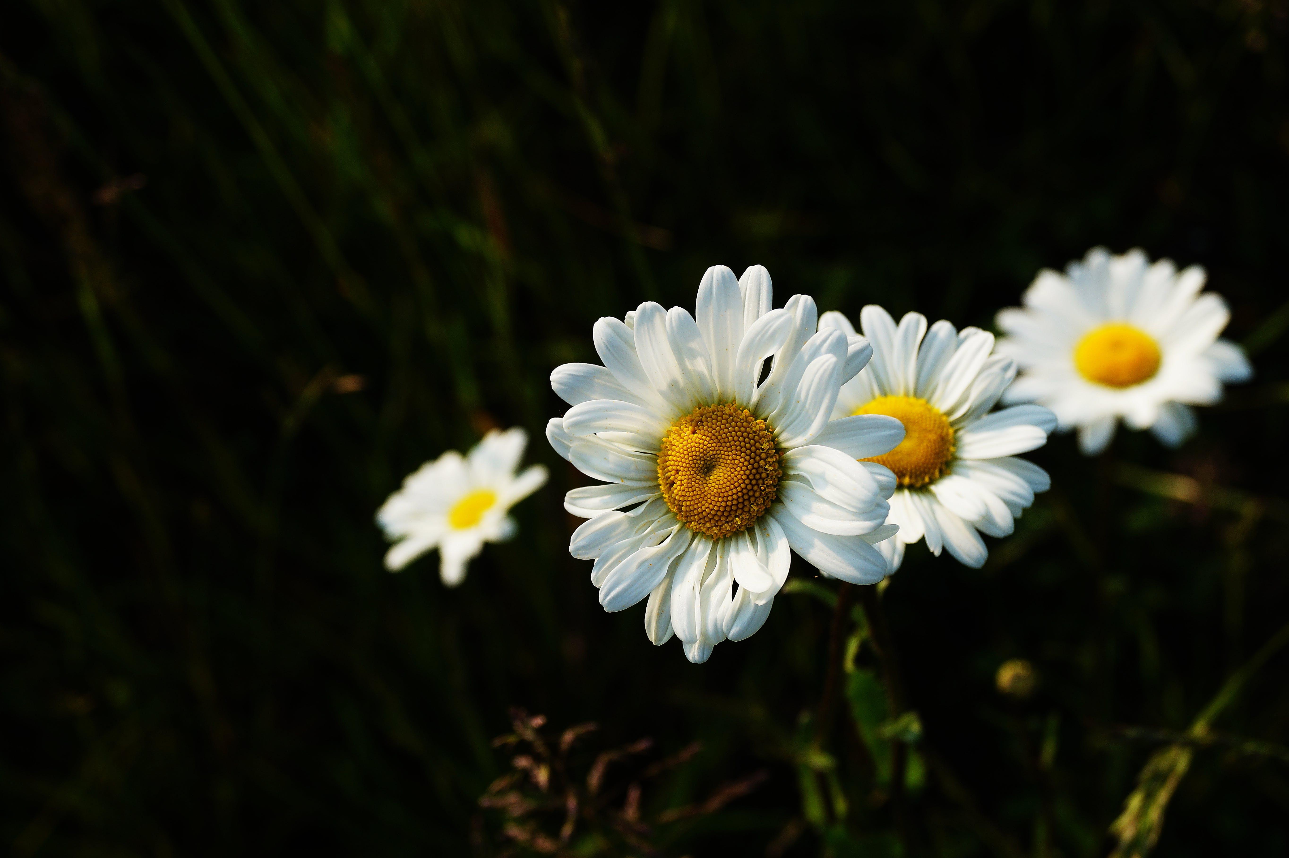 Four White Daisy Flowers