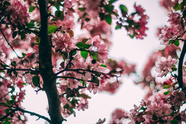 Selective Focus Photo Of Pink Flowering Tree