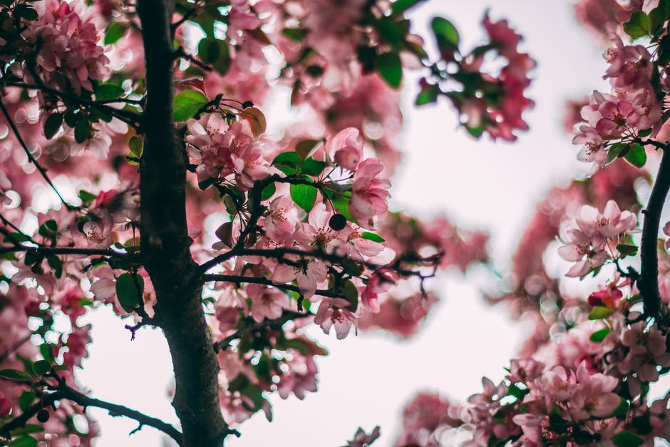 Selective Focus Photo Of Pink Flowering Tree