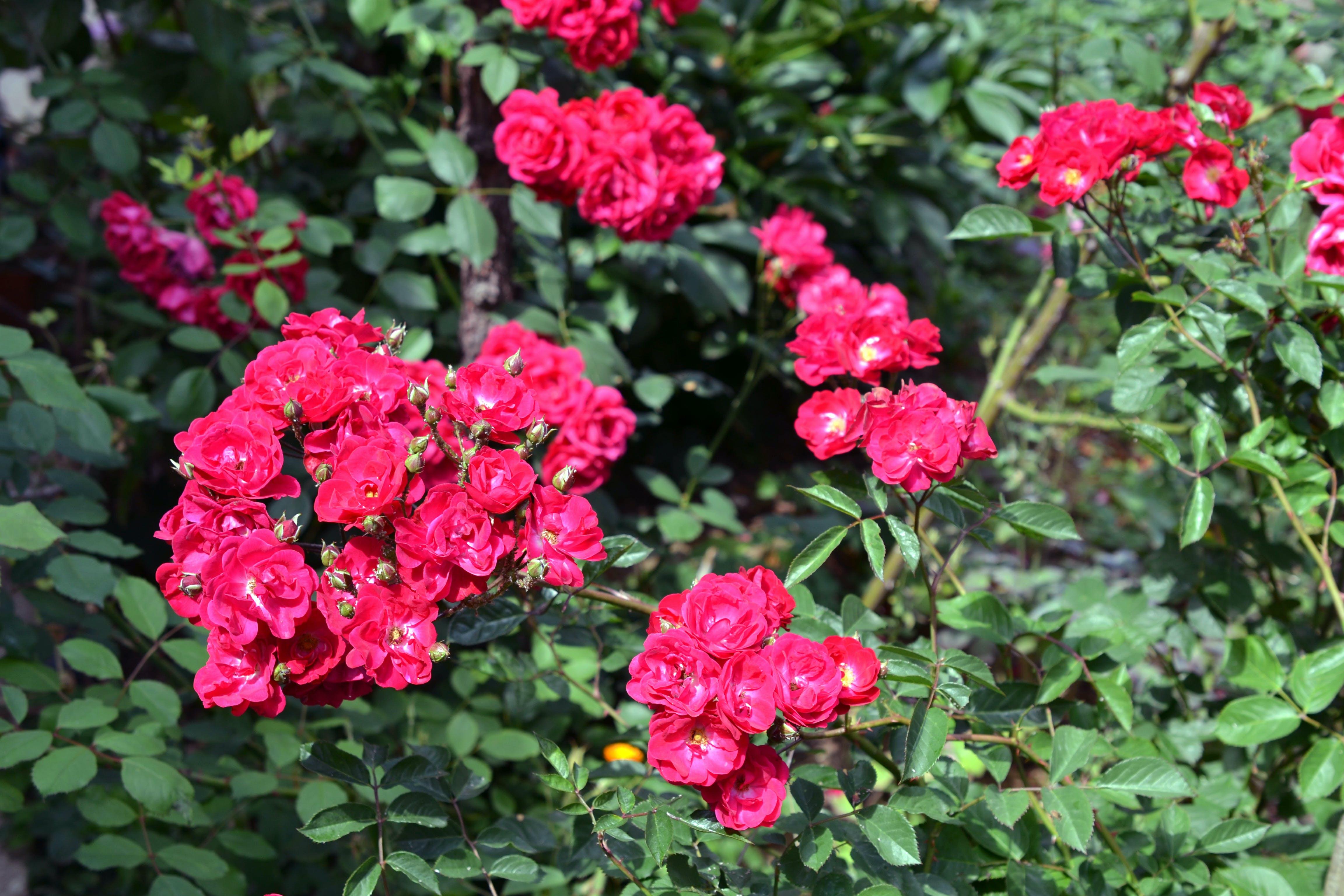 Free stock photo of flower, garden, nature, rose