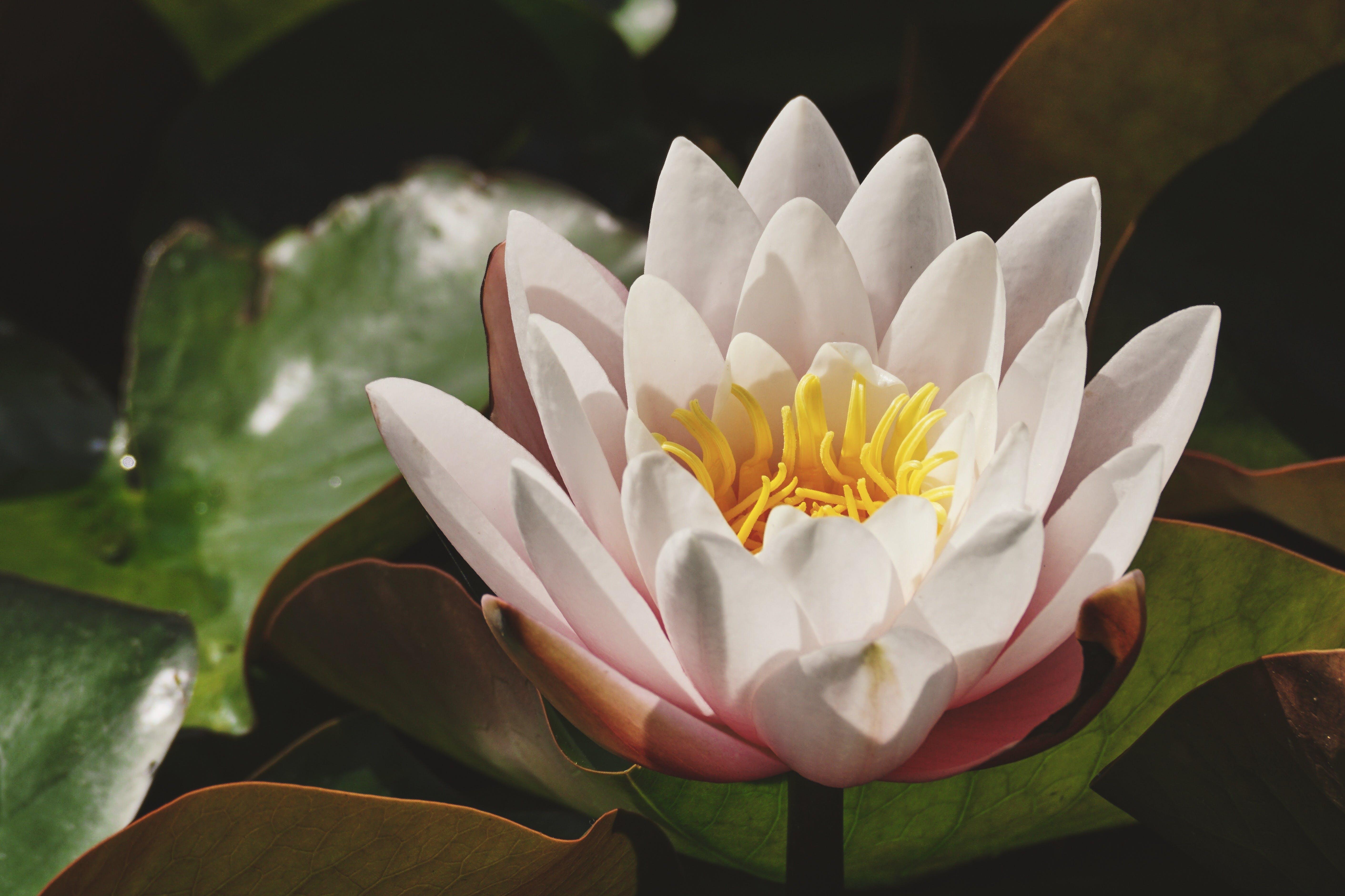 Ảnh lưu trữ miễn phí về cánh hoa, hệ thực vật, hoa huệ, hoa sen