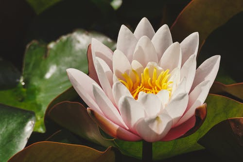 White Petaled Lotus