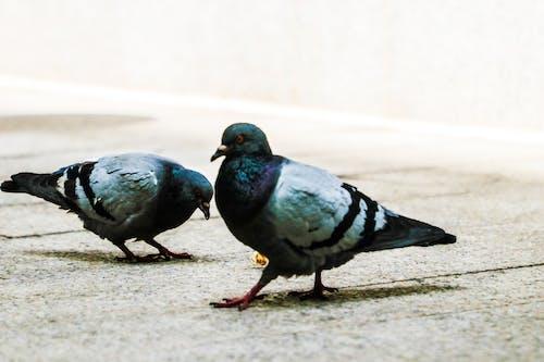 Fotobanka sbezplatnými fotkami na tému holub, holuby, mestský, smiešny
