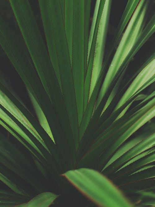 คลังภาพถ่ายฟรี ของ ต้นยัคคะ, ต้นไม้, พืช, วอลล์เปเปอร์ iphone