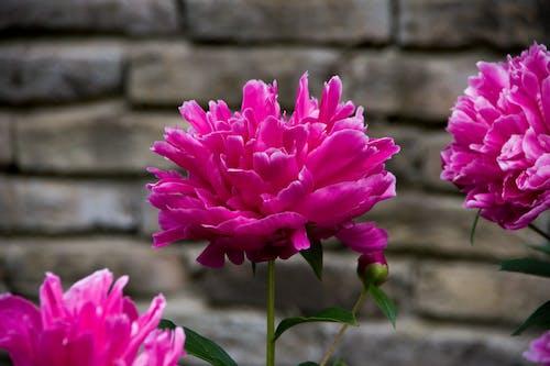 Immagine gratuita di bocciolo, fiore, fiore rosa
