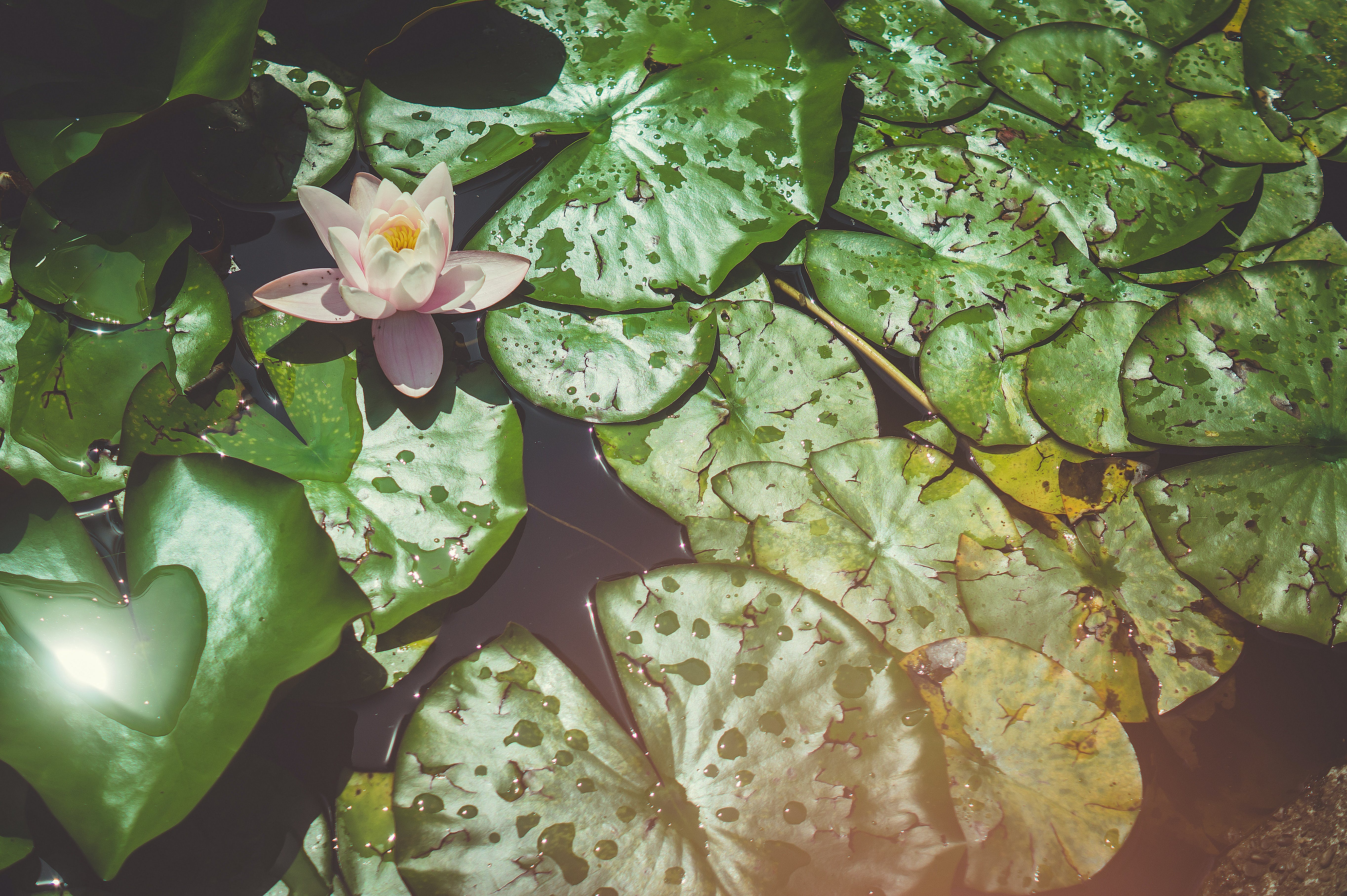 Free stock photo of flower, nenuphar, water lily