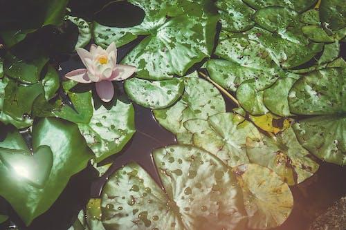 Darmowe zdjęcie z galerii z kwiat, lilia wodna, nenufar