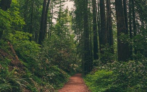 Δωρεάν στοκ φωτογραφιών με redwoods, γαλήνιος, δέντρα, διαδρομή